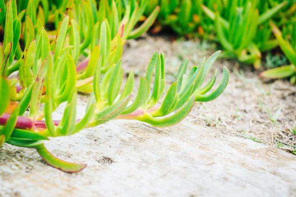 Grön strandväxt