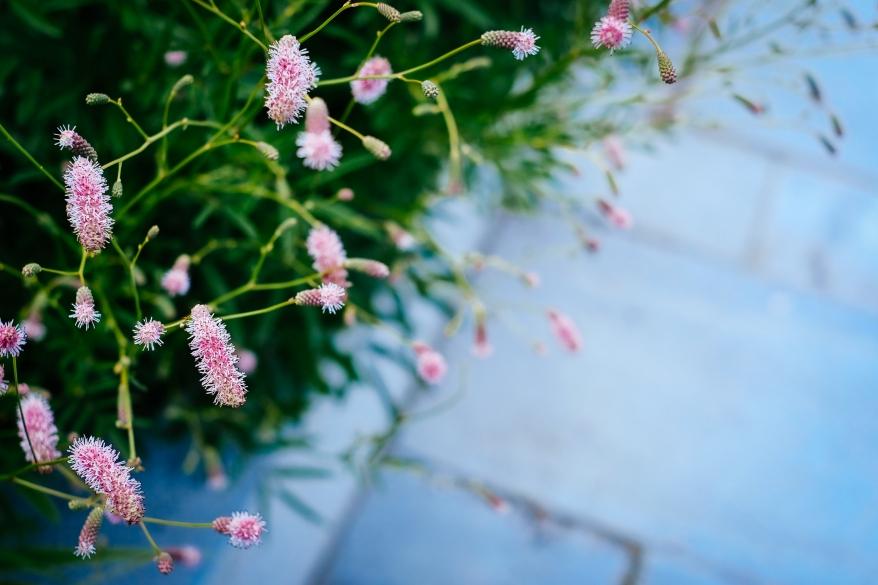 Rosa blommor i kvällssol