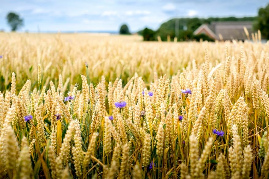 Sädesfält med blåklint på Ven