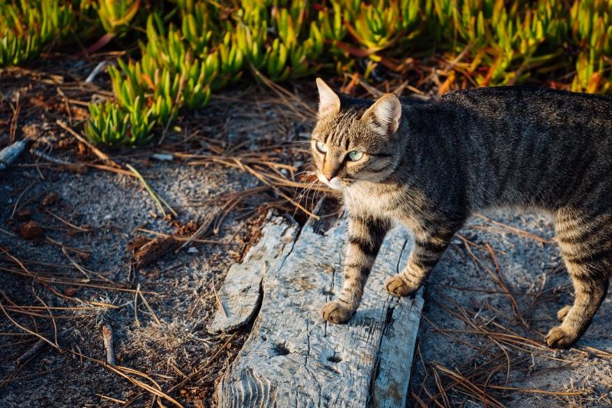 Katt i solnedgång, Portugal