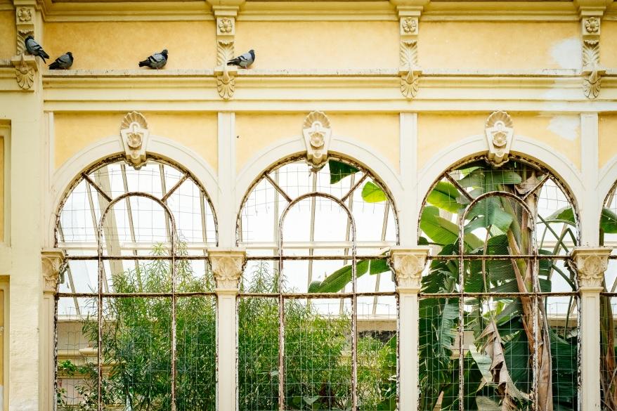 Duvor går på gul husfasad. Foto.