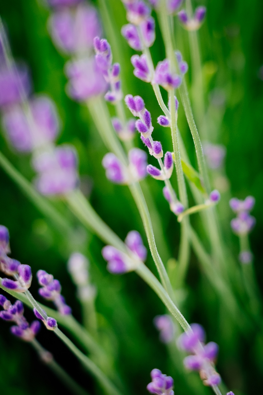 Lila blommor. Foto.