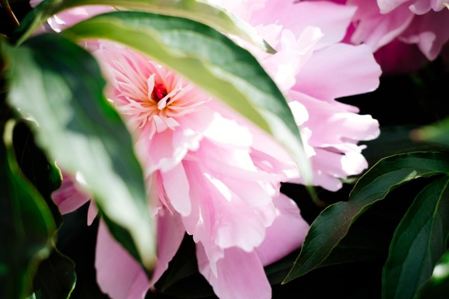 Rosa pion. Foto