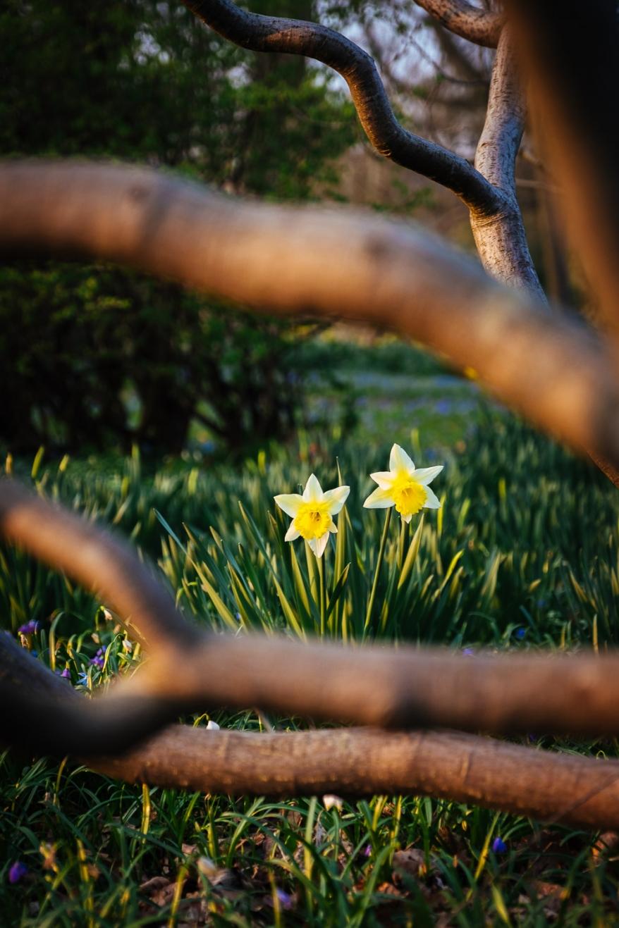 Påskliljor i parkmiljö. Foto.