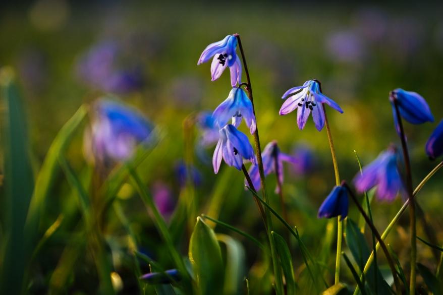 Blå blommor. Foto.