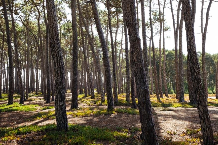 Pine forest. Photographer: Helena Bergqvist.