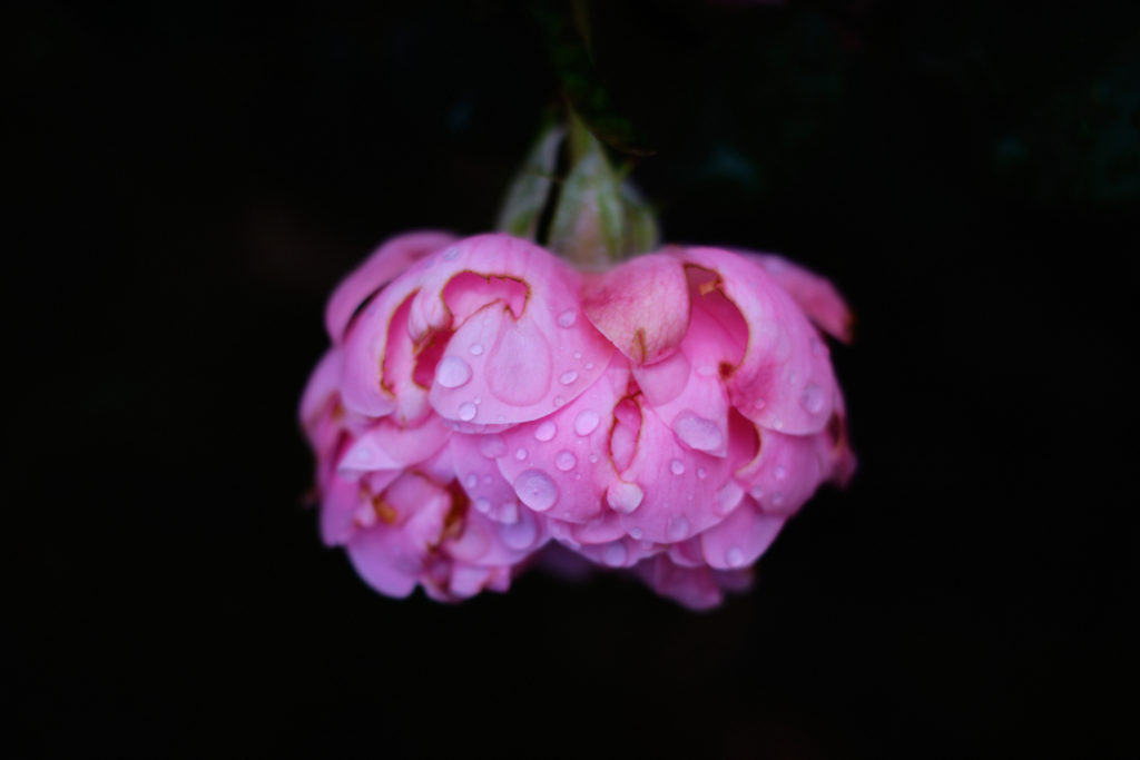 Pink rose with water drops on it. Photo.